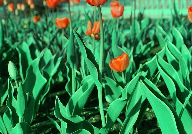 tulips-762x532